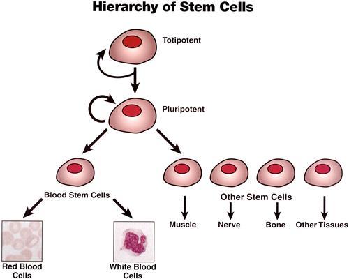 Tìm hiểu về tế bào gốc vạn năng | chìa khóa chữa nhiều bệnh hiểm nghèo 1