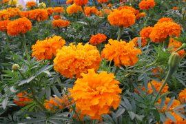 Bài thuốc kháng virus HIV và ung thư từ hoa cúc bạn thọ 3