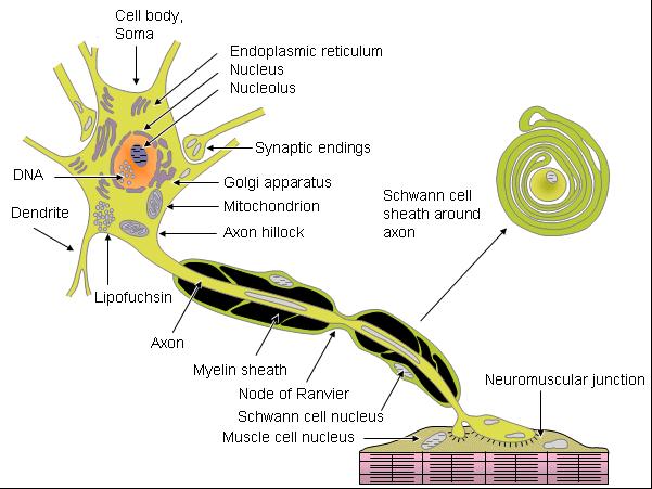Nghiên cứu về tế bào thần kinh | tế bào cơ | mô não 1
